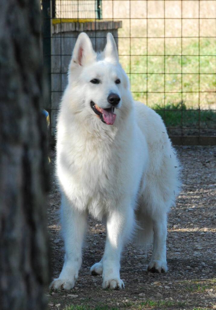 pastore tedesco bianco cucciolo