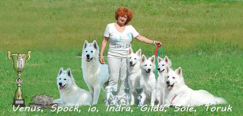 pastore svizzero bianco allevamenti, pastore svizzero bianco campioni, pastore svizzero bianco Lungoresina, Alpentrophy,