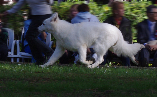 pastore tedesco bianco da lavoro